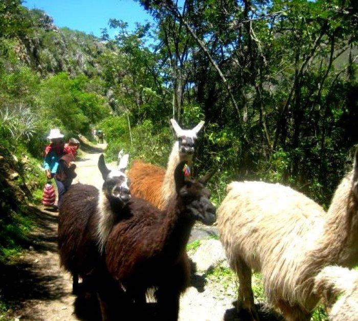 Make way for alpacas!