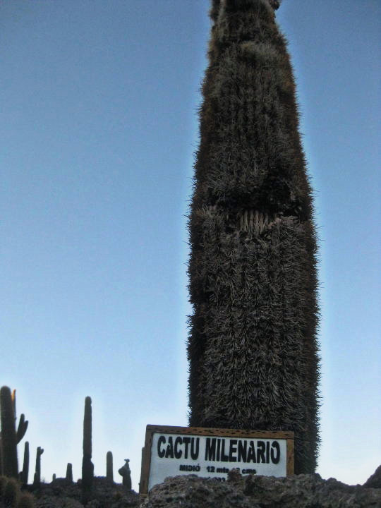 Thousand year old cactus