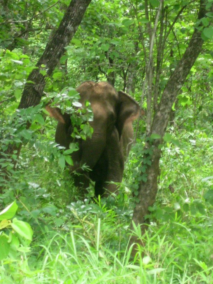 Glimpse of our first elephant in the bushes